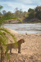 A male leopard pauses before making a river crossing. Sabi Sands Preserve, South Africa, June 2015