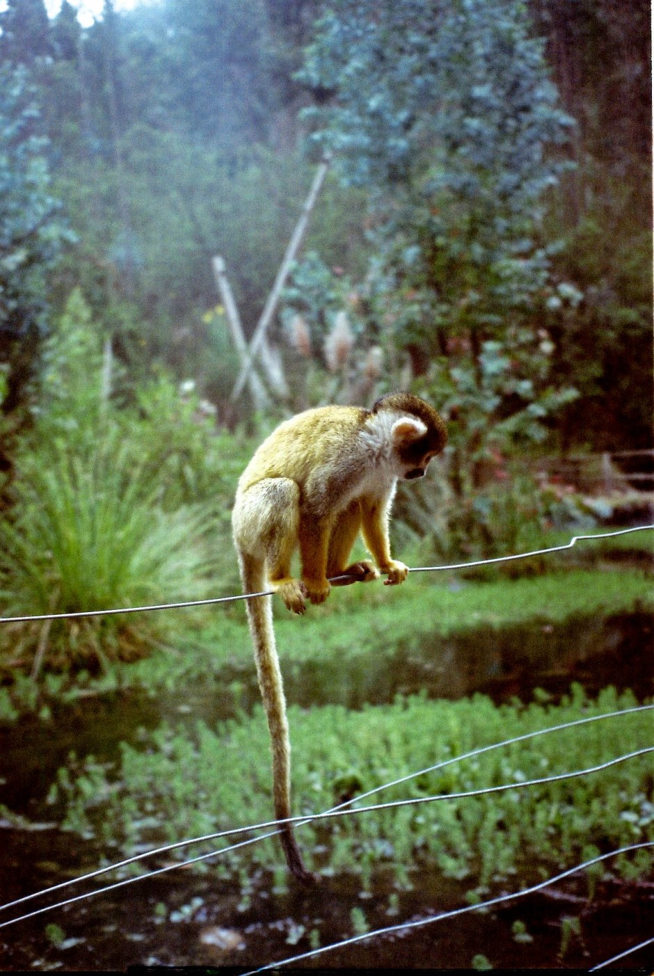 A lone monkey sits in one of the many wide-open spaces of Zoológico Amaru. Every week we were surrounded by wild animals and endangered species as we hiked through the bio park/conservatory to get to our biology class labs. Cuenca, Ecuador.
