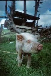 Chancho, cerdo, amigo. Chilca Totora, Ecuador.