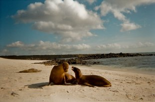 Sea lions play like siblings. Galapagos Islands, Ecuador.